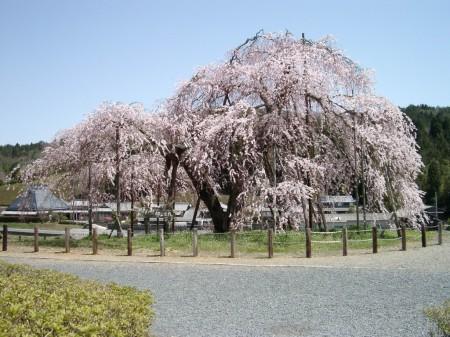 しだれ桜・信楽町畑03
